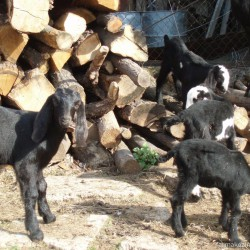 Kozia farma Kozinka, Veľký Blh